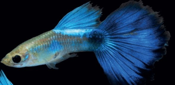 Guppy Young Pair Champion Purple